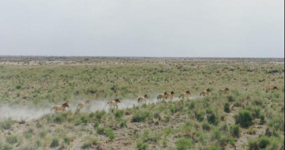 奇瑞开展保护普氏野马与双峰野骆驼行动